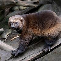 Wolverine - Gulo gulo