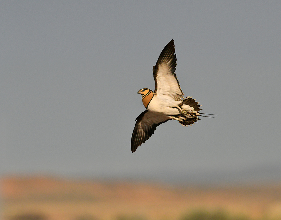 Pin-tailed Sandgrouse