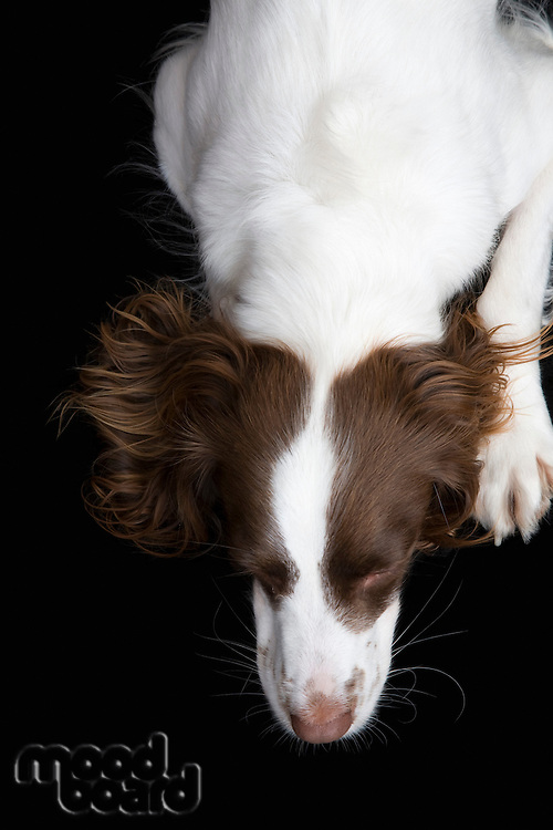 English Springer Spaniel view from above