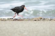 Variable Oystercatcher along the coast, South Island, New Zeland