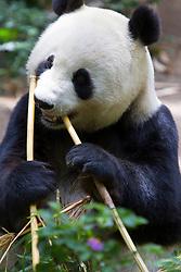 A Giant panda (Ailuropoda melanoleuca) bear eating bamboo, San Diego Zoo, San Diego, California, United States of America