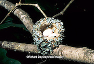 01162-016.13 Ruby-throated Hummingbird (Archilochus colubris) nest with eggs Marion Co.   IL