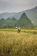 Lone farmer harvesting rice in a field between Nghia Lo and Mu Cang Chai, Yen Bai Province, Northern Vietnam, Southeast Asia.