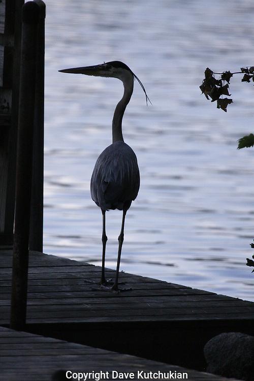 at your window, my dear<br /> great blue heron on dock, highland lake resort, bridgton,me