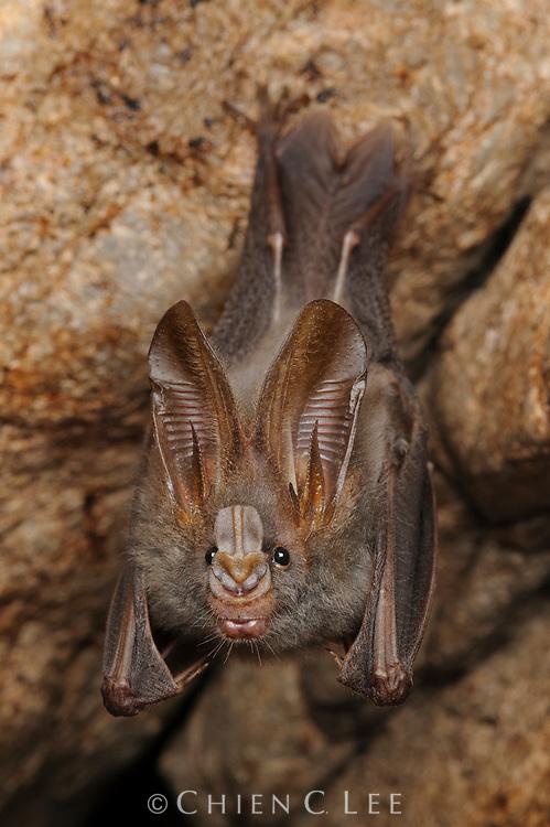 Lesser False Vampire Bat (Megaderma spasma), an insectivorous species ranging throughout Southeast Asia. Sarawak, Malaysia.