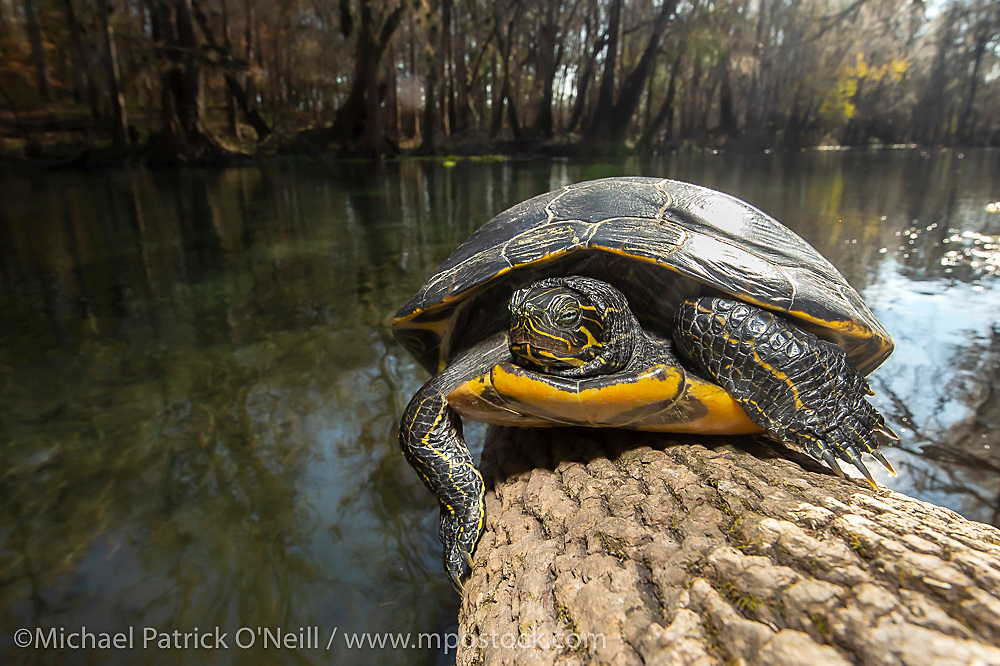 A Florida Cooter, Pseudemys floridana, wamrs itself on a log on a cold day in Ichetucknee Springs State Park in North Florida.