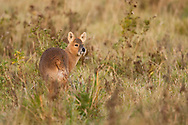 Chinese Water Deer (Hydropotes inermis) introduced species, adult, standing alert, The Broads N.P., Norfolk, England