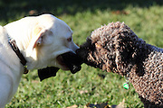 Sasha the Lagotto and Twinkle the Labrador fight over a black hat