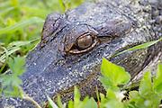 Close-up of a juvenile alligator.<br /> Southeast, Georgia Swamps. U.S.A
