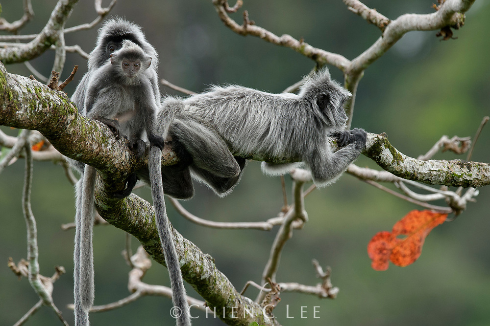 Like other langurs, Silvered Leaf Monkeys (Trachypithecus cristatus) are highly social and travel in cohesive groups numbering up to 40 or more individuals. They have a specialized diet, feeding almost exclusively on high-protein leaves.