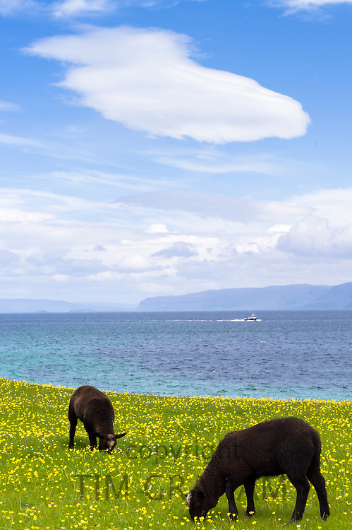 Dark brown Soay sheep grazing in buttercup meadow on Isle of Iona in the Inner Hebrides and Western Isles, Scotland