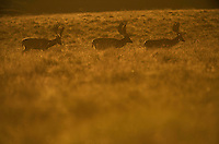 Fallow Deer (Dama dama) stags in evening light (c), Klampenborg Dyrehave, Denmark. Fenced reserve enclosure.