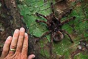 Goliath Bird-eating Tarantula (Theraphosa blondi) LARGEST SPIDER IN THE WORLD<br /> Rainforest<br /> Rewa River<br /> GUYANA. South America<br /> RANGE: Rainforests of South America