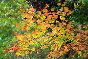 Vine Maple (Acer circinatum), Mount Tabor Park, Portland, Oregon, USA.