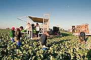 28 NOVEMBER 2006 - SAN LUIS, AZ:  Farm workers harvest broccoli. Farmers and agricultural producers around Yuma, AZ, are facing a growing shortage of farm workers. Increased border enforcement have deterred many illegal workers from seeking work in Arizona and long lines at the ports of entry for legal workers are leading to the labor shortage. Some labor contractors are reporting as much as a 40 percent shortage of farm workers, Yuma farmers planted 15 percent fewer acres this year, compared to last, because of the shortage. More than 100,000 acres of iceberg lettuce are cultivated in Yuma county and more than 50,000 people are employed as seasonal farm workers at the height of the harvest, which is December through February. Nearly 3,500 seasonal farm workers stand in line for up to two hours every morning at the San Luis, AZ, Port of Entry to enter the US legally to work in the fields. Experienced workers can make as much as $14 (US) per hour during the harvest.  PHOTO BY JACK KURTZ