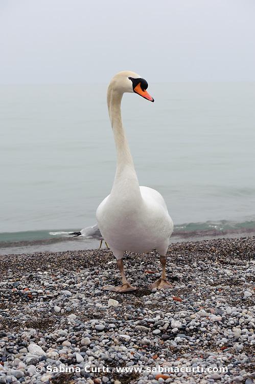 Mute Swan on Lake Ontario shore, Humber Bay Park Toronto