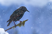 The common starling (Sturnus vulgaris), also known as the European starling, or in the British Isles just the starling, is a medium-sized passerine bird in the starling family, Sturnidae. It is about 20 cm (8 in) long and has glossy black plumage with a metallic sheen, which is speckled with white at some times of year. The legs are pink and the bill is black in winter and yellow in summer; young birds have browner plumage than the adults. It is a noisy bird, especially in communal roosts and other gregarious situations, with an unmusical but varied song. Its gift for mimicry has been noted in literature including the Mabinogion and the works of Pliny the Elder and William Shakespeare.