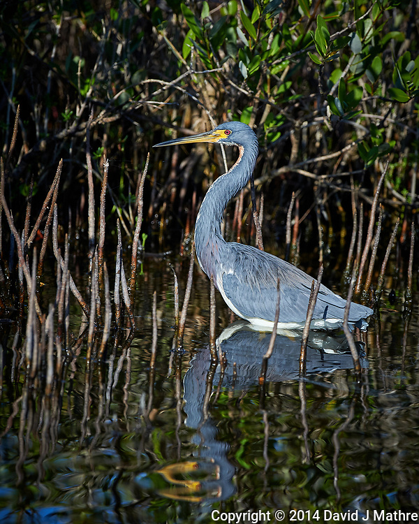 Tricolored Heron. Blackpoint Wildlife Drive, Merritt Island National Wildlife Refuge. Image taken with a Nikon D4 camera and 500 mm f/4 VR lens (ISO 640, 500 mm, f/5.6, 1/4000 sec).