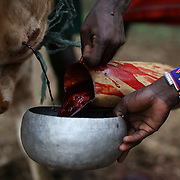 Young Pokot men collect blood coming out from the neck of a bull, during an initiation ceremony of young men in order to become recognised adults within their community, about 80 Kilometres from the town of Marigat, in Baringo County, Kenya, January 20, 2016.