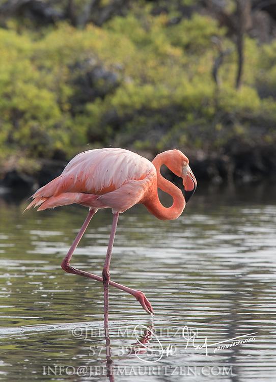 An American flamingo walks across a lagon in Cerro Dragon, Santa Cruz island, Galapagos, Ecuador.