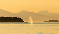 Humpback Whale (Megaptera novaeangliae) spout is illuminated in the evening sun in  Saginaw Channel in Southeast Alaska. Summer.