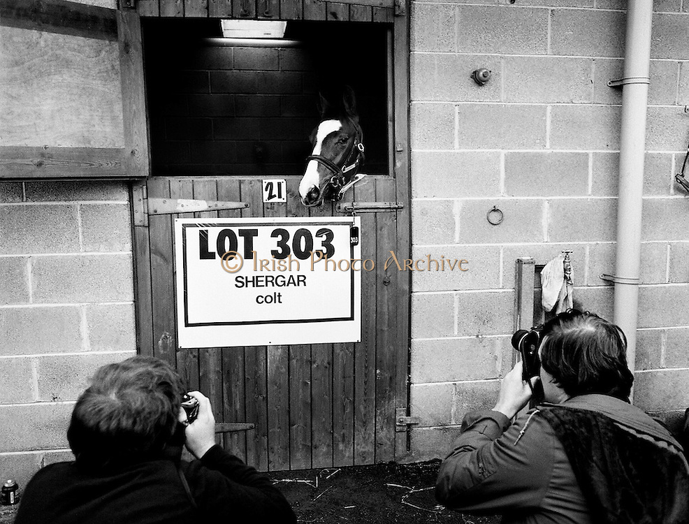 'Lot 303', an as yet unnamed foal sired by the famous Shergar, poses for the cameras prior to an auction to be held at Goffs Sales, Kildare. On 8 February 1983, Shergar was kidnapped from the Ballymany Stud, Curragh, County Kildare, allegedly by the IRA. Shergar had been syndicated for £10 million by his owner, the Aga Khan, after winning the Epsom Derby by a record ten lengths. Despite a wide-ranging investigation, no trace of the horse was ever found.<br /> 20 November 1983