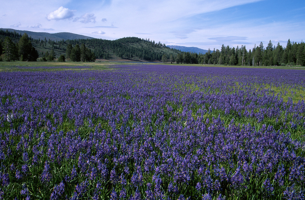&quot;Camas at Sagehen Meadow&quot;- Photographed at Sagehen Meadow facing Stampede Reservoir, CA.<br />