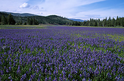 &quot;Camas at Sagehen Meadow&quot;- Photographed at Sagehen Meadow facing Stampede Reservoir, CA.<br /> Photographed: May 2005