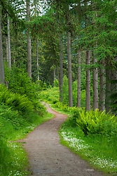 Woodland path in Inver Wood above The Hermitage in Perthshire, Scotland , Uk