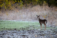 YEARLING WHITETAIL FAWN