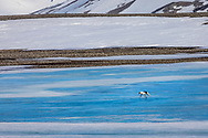 An arctic fox trots across the ice on Svalbard, West Spitzbergen.