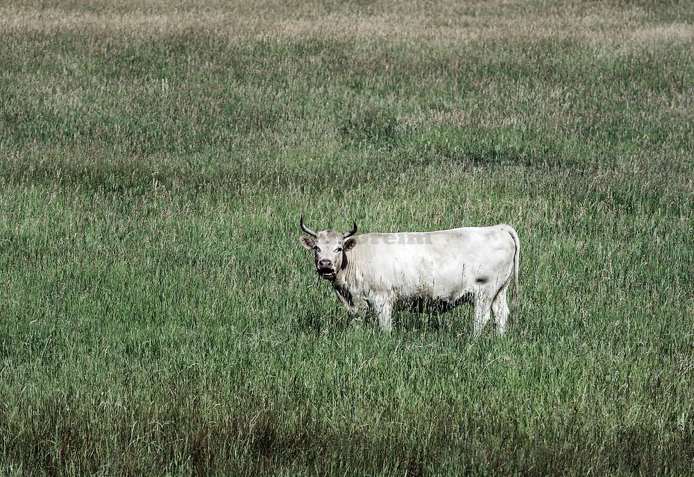 Steer feeding in a lush field of grass, Colorado, USA.