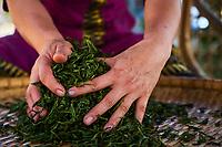 Chine, Province du Yunnan, region de Xishuangbanna, sechage et roulage des feuilles de thé de Pu'er // China, Yunnan, Xishuangbanna district, drying and rolling tea leaves of Pu'er tea
