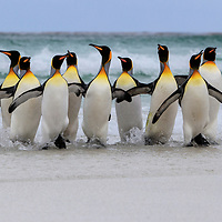 King penguins emerge from the surf, Volunteer Point, Falkland Islands, 2017