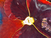 Stunning macro shot of the centre of an open red pansy.