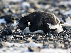 Adelie Penguin (Pygoscelis adeliae) in Brown Bluff, Antarctica