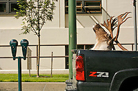 A mounted caribou head protrudes from the back of a pickup in downtown Anchorage.