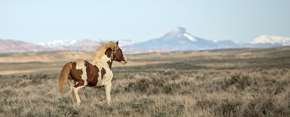 A mustang stallion, wild and free, gallops through the sage-covered plains of McCullough Peaks Herd Management Area.
