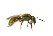 Sweat Bee (Augochlora pura), female, South Carolina.