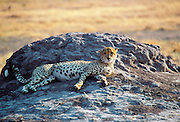 A cheetah resting on an old termite mound, Moremi Game Reserve, Botswana, Africa.