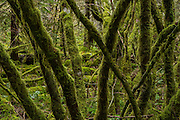 Mos covers vine maple limbs in the coastal rainforest of the Tillamook State Forest in Oregon. © Michael Durham.