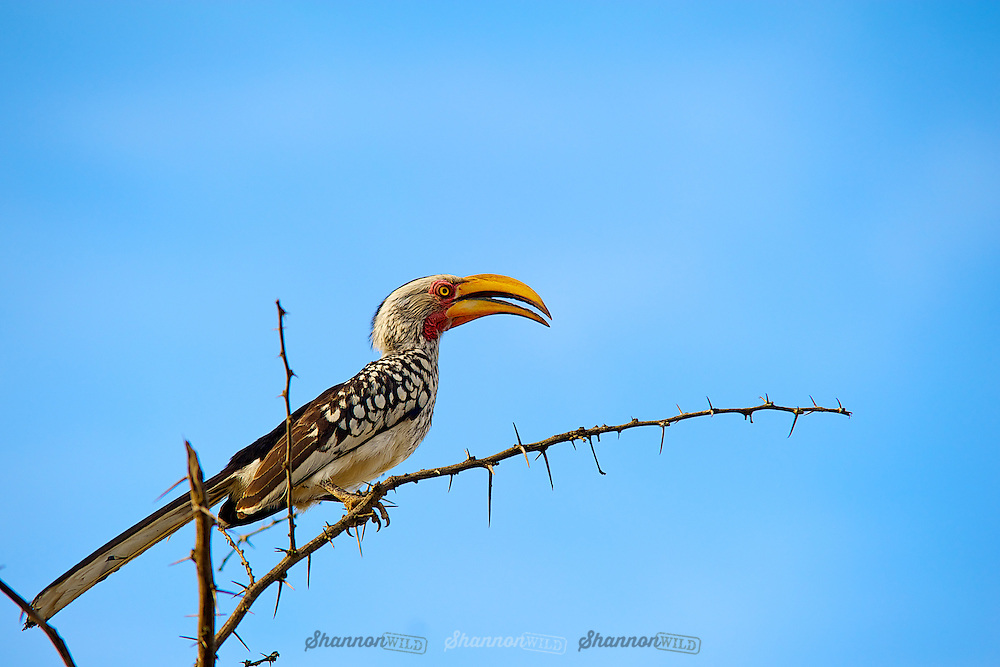 The southern yellow-billed hornbill is a hornbill found in southern Africa. It is a medium sized bird, 48–60 centimetres in length, characterized by a long yellow beak with a casque. The casque is smaller in the female.