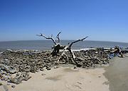 Petrified tree on Driftwood Beach, Jekyll Island amid rocky rip rap, fisheye view