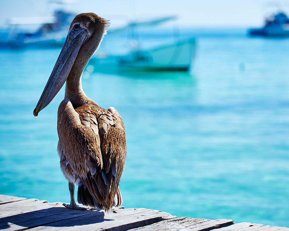 This Pelican patiently waits for the fishing boats to return to Puerto Morelos, México.