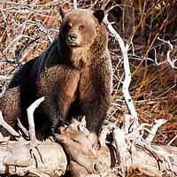 grizzly bear eating elk stream,