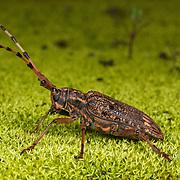 Wild beetle of the species pharsalia subgemmata. Photographed in Mae Wong National Park, Thailand.