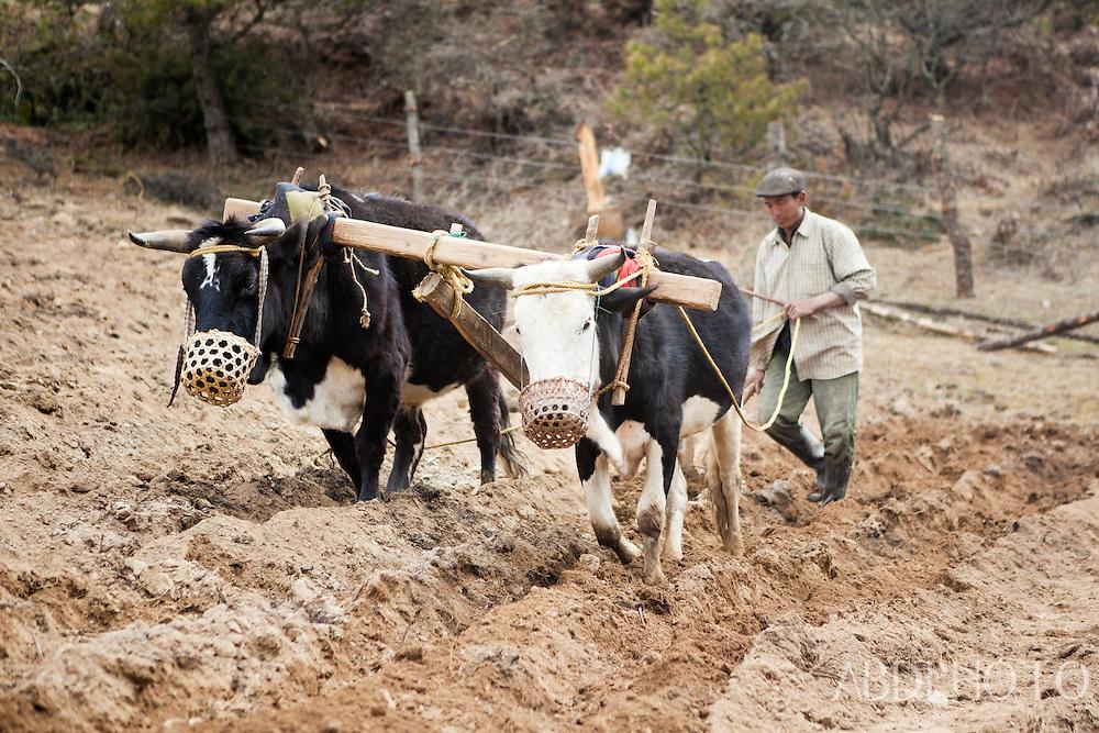 Ploughing a field in Thimphu Bhutan Asia Thimphu, Bhutan