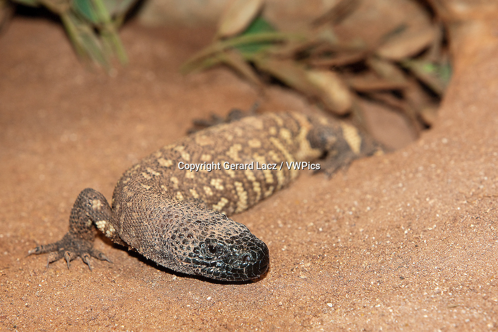 BEADED LIZARD heloderma horridum, A VENOMOUS SPECY, ADULT
