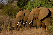 Adult African Elephants (Loxodonta africana) in Samburu NP, Kenya in the late afternoon sun.