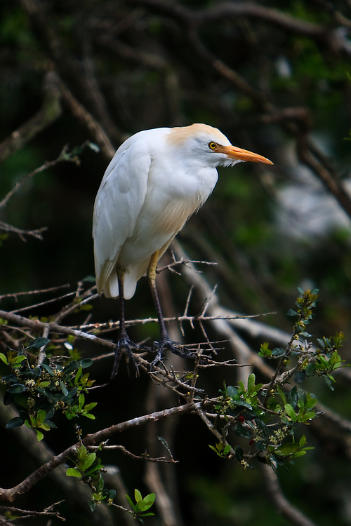 A wild breeding plumaged cattle egret (Bubulcus ibis) roosting at the beginning of the breeding season at the St. Augustine Alligator Farm Rookery, Anastasia Island, St. Augustine, Florida